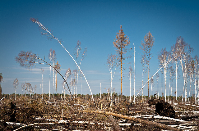 RUSSIA, NEAR RYAZAN - 8 MAY 2011: Piled up woords in the forest one winter after a terribly huge forest fires in Russia in year 2010. Image: Max Mayorov.